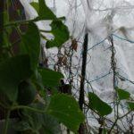 11/1防霜用の不織布を張りました
